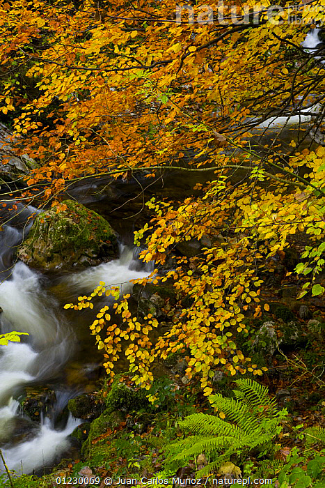 Beech woodland in autumn, Redes NP, Ruta del Alba path, Asturias, Northern Spain, October 2007, AUTUMN,CANTABRIAN MOUNTAINS,EUROPE,LANDSCAPES,NP,RESERVE,RIVERS,SPAIN,STREAMS,VERTICAL,WOODLANDS,National Park, Juan Carlos Munoz