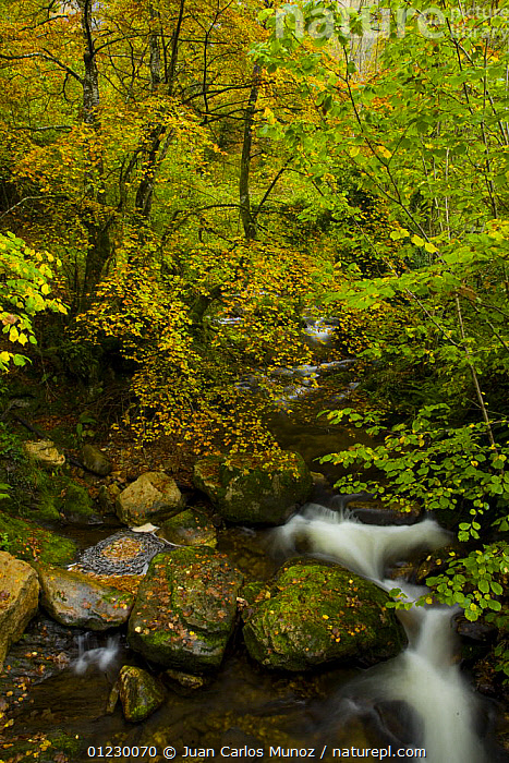 Beech woodland in autumn, Redes NP, Ruta del Alba path, Asturias, Northern Spain, AUTUMN,CANTABRIAN MOUNTAINS,EUROPE,LANDSCAPES,NP,RESERVE,RIVERS,SPAIN,STREAMS,VERTICAL,WOODLANDS,National Park, Juan Carlos Munoz