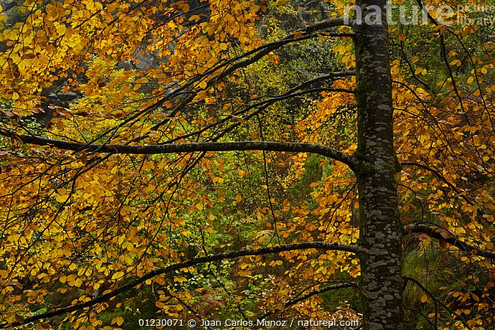 Beech woodland in autumn, Redes NP, Ruta del Alba path, Asturias, Northern Spain, October 2007, AUTUMN,CANTABRIAN MOUNTAINS,EUROPE,LANDSCAPES,NP,RESERVE,SPAIN,TREES,WOODLANDS,National Park,PLANTS, Juan Carlos Munoz