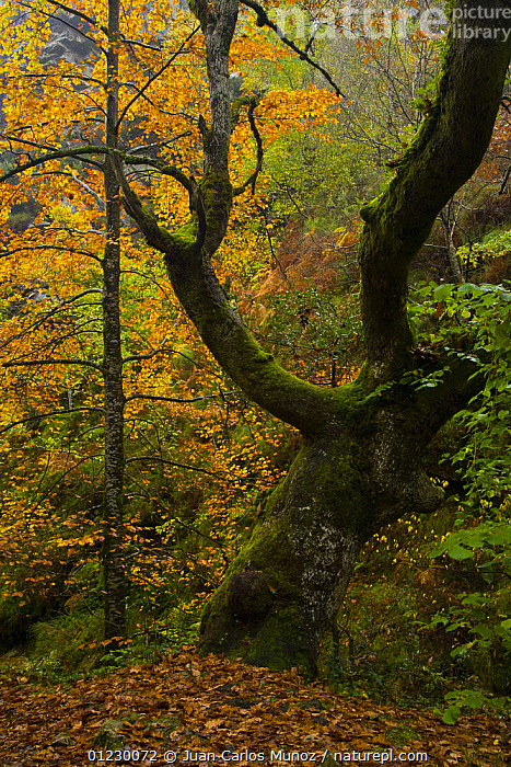 Beech woodland in autumn, Redes NP, Ruta del Alba path, Asturias, Northern Spain, October 2007, AUTUMN,CANTABRIAN MOUNTAINS,EUROPE,LANDSCAPES,NP,RESERVE,SPAIN,TREES,VERTICAL,WOODLANDS,National Park,PLANTS, Juan Carlos Munoz