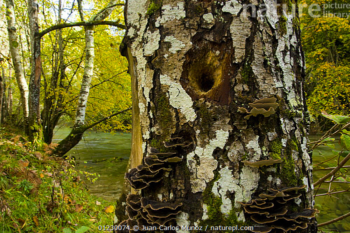 Birch tree trunk with hole made by woodpecker (?)Woodland at the Garganta Gorge, Picos de Europa NP, Asturias, Northern Spain, October 2007, AUTUMN,CANTABRIAN MOUNTAINS,EUROPE,LANDSCAPES,NP,RESERVE,SPAIN,TREES,WOODLANDS,National Park,PLANTS, Juan Carlos Munoz