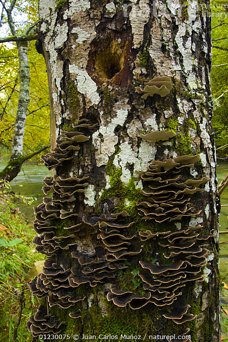 Bracket fungi growing on Birch (Betula) tree trunk, Garganta Gorge, Picos de Europa NP, Asturias, Northern Spain, October 2007, AUTUMN,CANTABRIAN MOUNTAINS,EUROPE,FUNGUS,LANDSCAPES,NP,RESERVE,SPAIN,TRUNKS,VERTICAL,WOODLANDS,National Park, Juan Carlos Munoz
