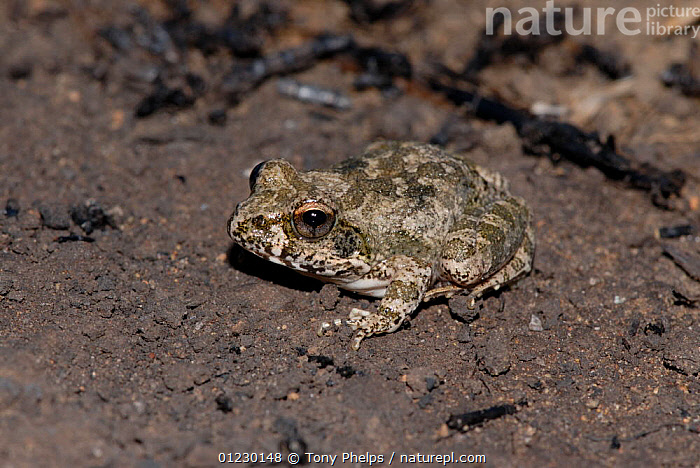Natal sand frog (Tomopterna natalensis) Sterkfontein, Free State, South Africa, AMPHIBIANS,FROGS,HIGH ANGLE SHOT,SOUTH AFRICA,SOUTHERN AFRICA,VERTEBRATES, Tony Phelps