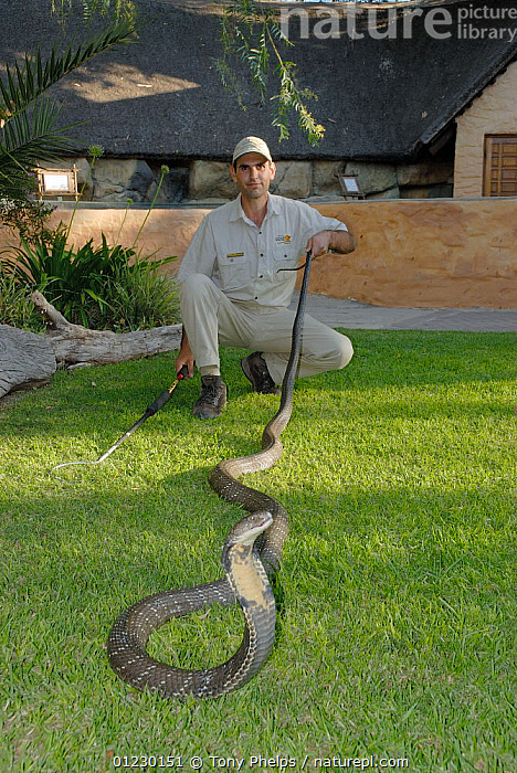 Reptile Curator with 9-year male King Cobra (Ophiophagus hannah) 3.5m long, captive, Cango Wildlife ranch, South Africa, BIG,COBRAS,LONG,MALES,MEN,PEOPLE,REPTILES,SIZE,SNAKES,VERTEBRATES,VERTICAL,,Snake,, Tony Phelps