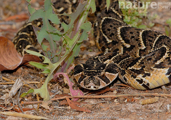Puff Adder (Bitis arietans) juvenile male in defence posture, Little Karoo, South Africa, BEHAVIOUR,DEFENSIVE,JUVENILE,MALES,REPTILES,SNAKES,SOUTH AFRICA,SOUTHERN AFRICA,VERTEBRATES,VIPERS,Adders, Snakes, Tony Phelps