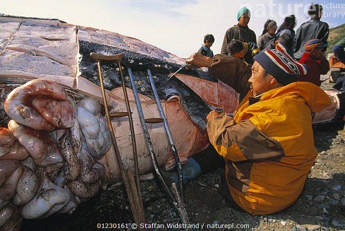 Chuckchi hunter stripping flesh off hunted Grey whale {Eschrichtius robustus} Chukotka, Siberia, Russia, 1996., ARCTIC,CETACEANS,COASTS,HORRIFIC,HUNTING FOOD,MAMMALS,PEOPLE,RUSSIA,VERTEBRATES,WHALES,CIS, Staffan Widstrand