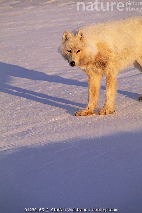 Arctic wolf {Canis lupus} Ellesmere Island, Canada, ARCTIC,CAMOUFLAGE,CANADA,CANIDS,CARNIVORES,MAMMALS,PORTRAITS,SNOW,VERTEBRATES,VERTICAL,WOLVES,North America, Staffan Widstrand