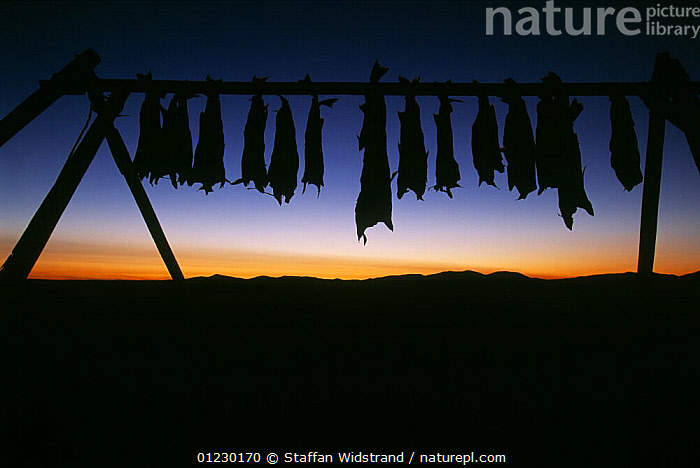 Salmon hung up to dry in the tundra winds, Chukotka, Siberia, Russia, ASIA,FISH,HANG,HUNTING FOOD,RUSSIA,SILHOUETTES,CIS, Staffan Widstrand