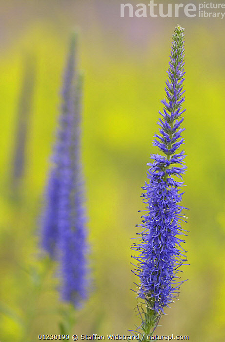 Spiked Speedwell {Veronica spicata} flower, Gotska Sand�n National Park, Sweden, July, DICOTYLEDONS,EUROPE,FLOWERS,PLANTS,PURPLE,SCANDINAVIA,SCROPHULARIACAEA,SUMMER,VERTICAL, Scandinavia, Staffan Widstrand