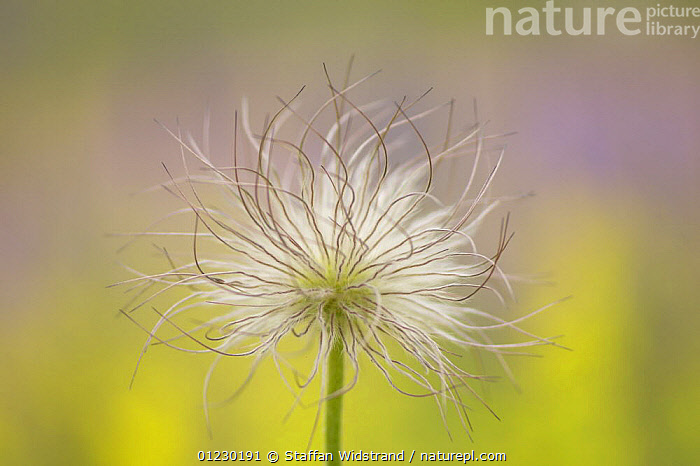 Seed head of Pasque flower {Pulsatilla pratensis} Gotska Sand�n National Park, Sweden, July, ARTY,DICOTYLEDONS,EUROPE,NP,PASQUE FLOWERS,PLANTS,RANUNCULACEAE,RESERVE,SCANDINAVIA,SEEDS,SWEDEN,National Park, Scandinavia, Staffan Widstrand