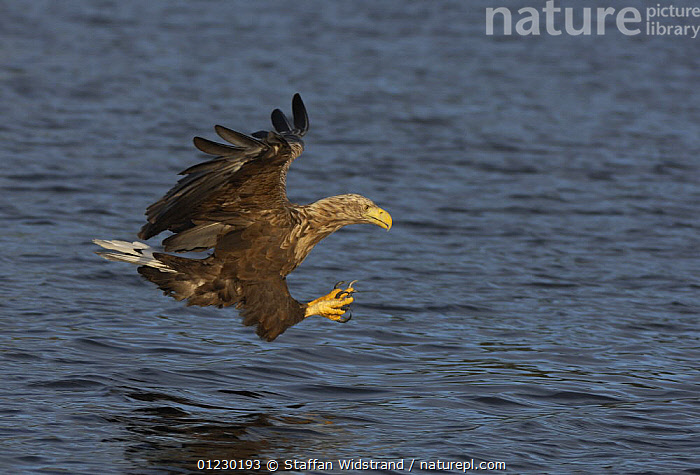 White tailed sea eagle {Haliaeetus albicilla} about to catch fish in water, Flatanger, Nord-Trondelag, Norway, August, BEHAVIOUR,BIRDS,BIRDS OF PREY,CLAWS,EAGLES,EUROPE,FISHING,FLYING,PREDATION,SCANDINAVIA,SURFACE,VERTEBRATES, Scandinavia, Staffan Widstrand
