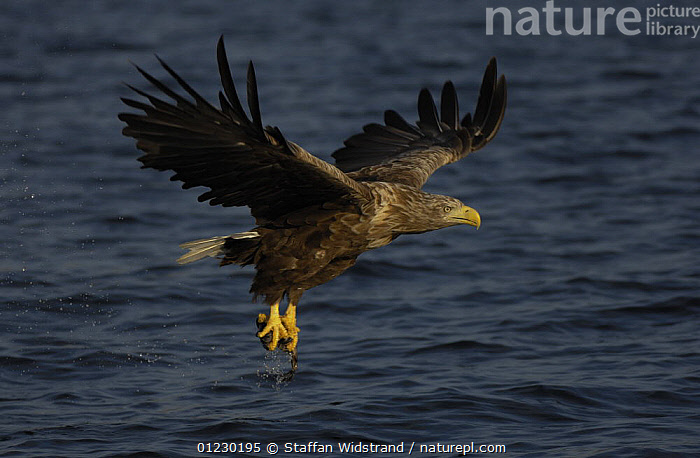White tailed sea eagle {Haliaeetus albicilla} flying up from water with fish in claws, Flatanger, Nord-Trondelag, Norway, August, BEHAVIOUR,BIRDS,BIRDS OF PREY,EAGLES,EUROPE,FISH,FISHING,FLYING,PREDATION,SCANDINAVIA,SURFACE,VERTEBRATES, Scandinavia, Staffan Widstrand
