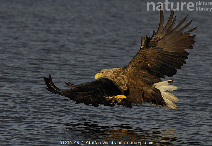 White tailed sea eagle {Haliaeetus albicilla} about to catch fish in water, Flatanger, Nord-Trondelag, Norway, August, BEHAVIOUR,BIRDS,BIRDS OF PREY,EAGLES,EUROPE,FISHING,FLYING,PREDATION,SCANDINAVIA,VERTEBRATES, Scandinavia, Staffan Widstrand