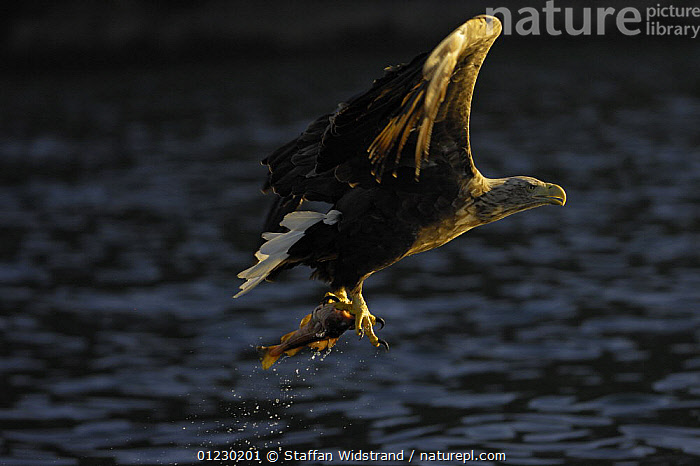 White tailed sea eagle {Haliaeetus albicilla} flying up from water with fish in claws, Flatanger, Nord-Trondelag, Norway, August, BEHAVIOUR,BIRDS OF PREY,EAGLES,EUROPE,FISH,FISHING,FLYING,PREDATION,PROFILE,SCANDINAVIA,SURFACE,VERTEBRATES, Scandinavia, Scandinavia, Scandinavia,Raptor, Staffan Widstrand