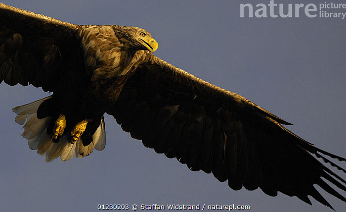 White tailed sea eagle {Haliaeetus albicilla} close up in flight, Flatanger, Nord-Trondelag, Norway, August, BIRDS OF PREY,EAGLES,EUROPE,FLYING,LOW ANGLE SHOT,PORTRAITS,SCANDINAVIA,VERTEBRATES, Scandinavia, Scandinavia, Staffan Widstrand