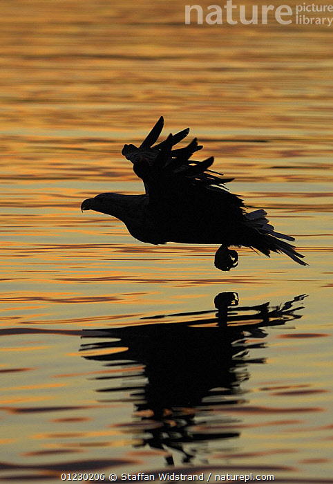 Silhouette of White tailed sea eagle {Haliaeetus albicilla} flying low over sea, Flatanger, Nord-Trondelag, Norway, August, ARTY,BIRDS OF PREY,EAGLES,EUROPE,FLYING,SCANDINAVIA,SILHOUETTES,VERTEBRATES,VERTICAL,WATER, Scandinavia, Scandinavia, Staffan Widstrand