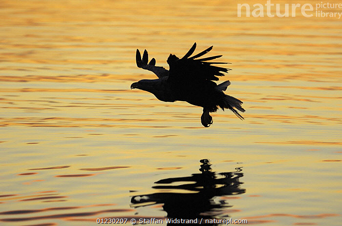Silhouette of White tailed sea eagle {Haliaeetus albicilla} flying low over sea, Flatanger, Nord-Trondelag, Norway, August, ARTY,BIRDS OF PREY,EAGLES,EUROPE,FLYING,REFLECTIONS,SCANDINAVIA,SILHOUETTES,VERTEBRATES, Scandinavia, Scandinavia, Staffan Widstrand