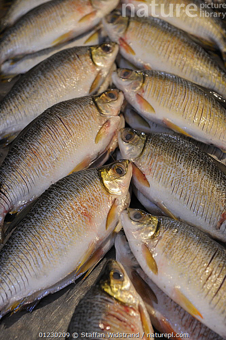 Fish in the Manaus fish market, Amazonas, Brazil, September 2007, ARTY,FISH,FRESHWATER,SOUTH AMERICA,SYMMETRY,TRADE,VERTICAL,SOUTH-AMERICA, Staffan Widstrand