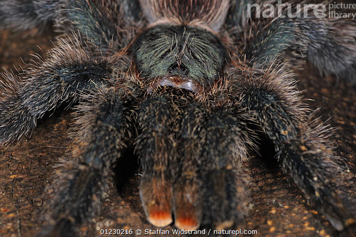 Close up of Tarantula spider {Tarantula sp} on tree trunk, Amazonas, Brazil, September, ARACHNIDS,ARTHROPODS,HAIRY,INVERTEBRATES,LEGS,MOUTHPARTS,POISONOUS,PORTRAITS,SOUTH AMERICA,SPIDERS,TARANTULAS,TROPICAL RAINFOREST, Staffan Widstrand