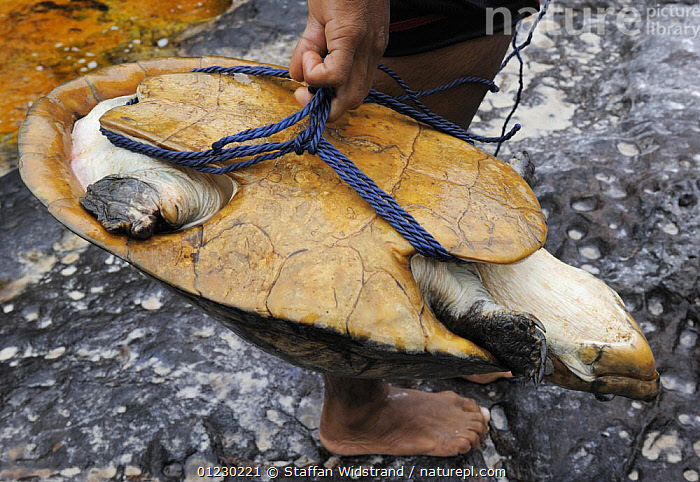 Indian boy and caught Large-headed Amazon river turtle {Peltocephalus dumeriliana} Amazonas, Brazil, September 2007, CHELONIA,DEATH,FRESHWATER,HUNTING FOOD,REPTILES,SIDE NECKED TURTLES,SOUTH AMERICA,TROPICAL RAINFOREST,TURTLES,VERTEBRATES,SOUTH-AMERICA, Staffan Widstrand