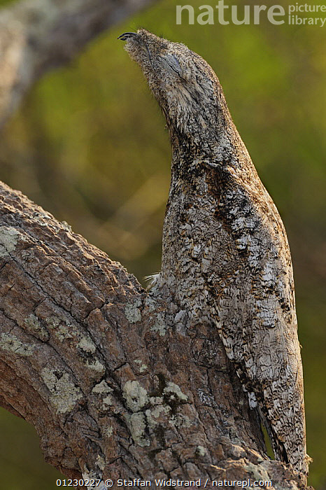 Great Potoo {Nyctibius grandis} camouflaged on branch, Pantanal, Brazil, September, BIRDS,CAMOUFLAGE,POTOOS,SOUTH AMERICA,VERTEBRATES,VERTICAL, Staffan Widstrand