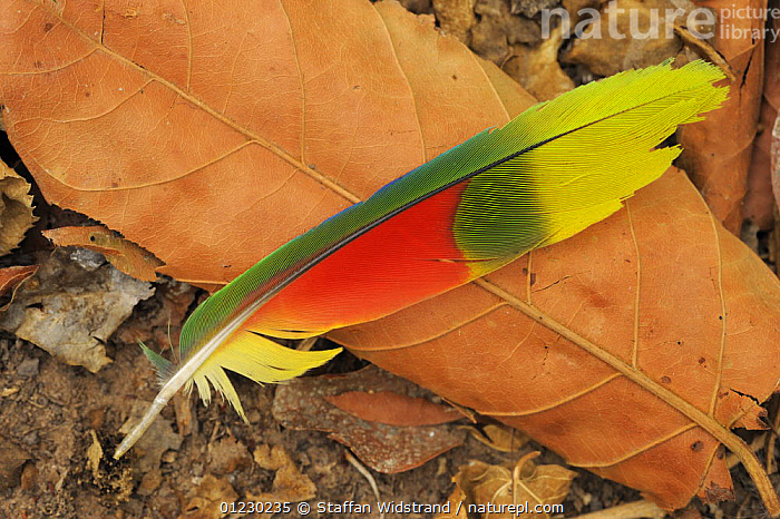Fallen feather of Amazon parrot {Amazona sp} Pantanal, Brazil, September, BIRDS,COLOURFUL,FEATHERS,PARROTS,RED,SOUTH AMERICA,VERTEBRATES,YELLOW, Staffan Widstrand