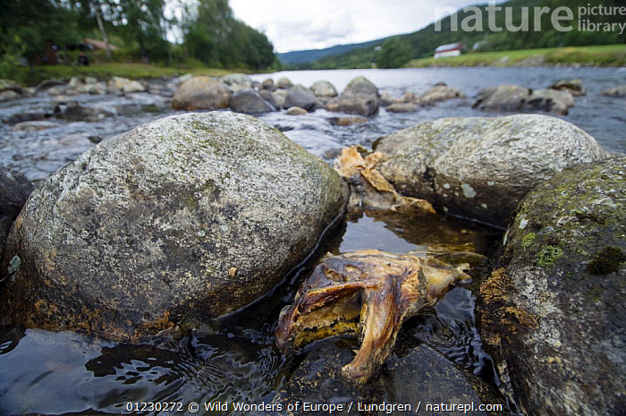 Dead Atlantic salmon (Salmo salar) River Orkla, Norway, Orkla River, Norway, September 2008, DEATH,EUROPE,FISH,FRESHWATER,HEADS,JAWS,LANDSCAPES,MAGNUS LUNDGREN,NORWAY,OSTEICHTHYES,RIVERS,SALMON,SCANDINAVIA,TEMPERATE,VERTEBRATES,WWE, Scandinavia, Scandinavia, Wild Wonders of Europe / Lundgren