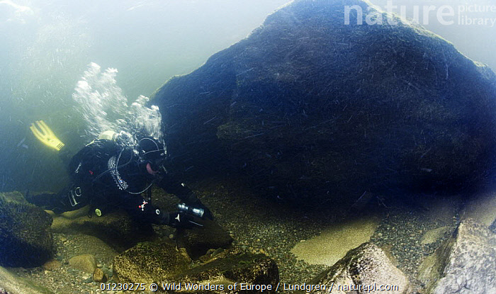 Diver in the River Orkla, Norway, Orkla River, Norway, September 2008 (Model released), DIVING,EUROPE,FRESHWATER,MAGNUS LUNDGREN,PEOPLE,RIVERS,ROCKS,SCANDINAVIA,TEMPERATE,UNDERWATER,WWE, Scandinavia, Scandinavia, Wild Wonders of Europe / Lundgren