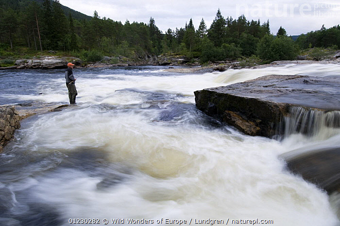 Fly fisherman fishing for salmon in the River Orkla, Norway, September 2008 (Model released), ANGLING,EUROPE,FISHING,LANDSCAPES,LEISURE,MAGNUS LUNDGREN,NORWAY,PEOPLE,RIVERS,SCANDINAVIA,SPORTS,WATER,WWE, Scandinavia, Scandinavia, Wild Wonders of Europe / Lundgren