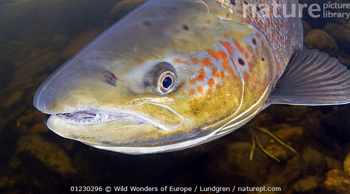 Atlantic salmon (Salmo salar) female, River Orkla, Norway, September 2008, EUROPE,FEMALES,FISH,FRESHWATER,MAGNUS LUNDGREN,NORWAY,OSTEICHTHYES,PORTRAITS,RIVERS,SALMON,SCANDINAVIA,TEMPERATE,UNDERWATER,VERTEBRATES,WWE, Scandinavia, Scandinavia, Wild Wonders of Europe / Lundgren