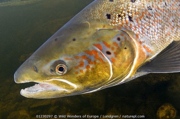 Atlantic salmon (Salmo salar) female, River Orkla, Norway, September 2008, EUROPE,FEMALES,FISH,FRESHWATER,HEADS,MAGNUS LUNDGREN,NORWAY,OSTEICHTHYES,PORTRAITS,RIVERS,SALMON,SCANDINAVIA,TEMPERATE,UNDERWATER,VERTEBRATES,WWE, Scandinavia, Scandinavia, Wild Wonders of Europe / Lundgren