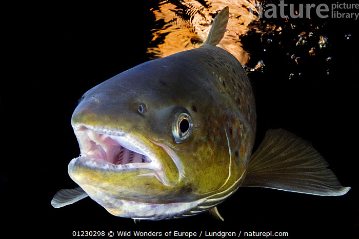 Atlantic salmon (Salmo salar) female, River Orkla, Norway, September 2008, EUROPE,FEMALES,FISH,FRESHWATER,HEADS,MAGNUS LUNDGREN,MOUTHS,NORWAY,OSTEICHTHYES,PORTRAITS,RIVERS,SALMON,SCANDINAVIA,TEMPERATE,UNDERWATER,VERTEBRATES,WWE, Scandinavia, Scandinavia, Wild Wonders of Europe / Lundgren