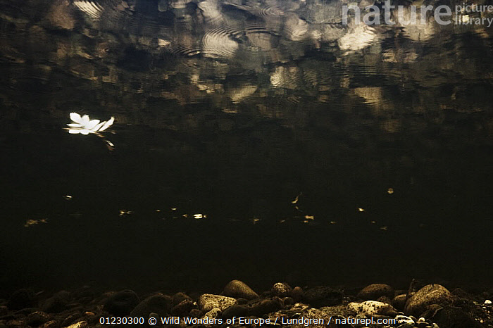 Looking up at leaf floating on the surface of the River Orkla, Norway, September 2008, ARTY SHOTS,EUROPE,FRESHWATER,LEAVES,LOW ANGLE SHOT,MAGNUS LUNDGREN,NORWAY,RIVERS,SCANDINAVIA,TEMPERATE,UNDERWATER,WWE, Scandinavia, Scandinavia, Wild Wonders of Europe / Lundgren