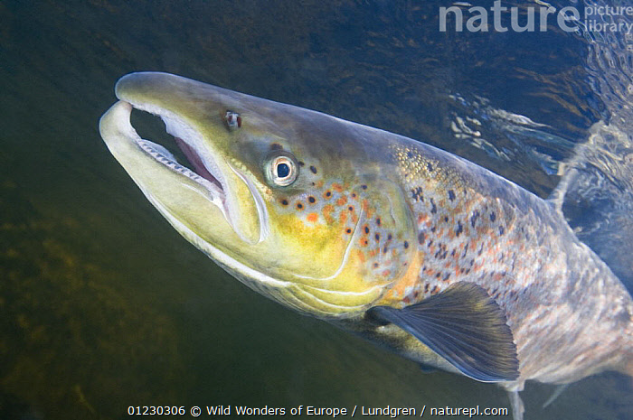 Atlantic salmon (Salmo salar) male, River Orkla, Norway, September 2008, EUROPE,FISH,FRESHWATER,MAGNUS LUNDGREN,MALES,NORWAY,OSTEICHTHYES,PORTRAITS,PROFILE,RIVERS,SALMON,SCANDINAVIA,TEMPERATE,UNDERWATER,VERTEBRATES,WWE, Scandinavia, Scandinavia, Wild Wonders of Europe / Lundgren