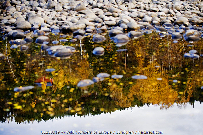 Trees reflected in a pool of water at the edge of the River Orkla, Norway, September 2008, ABSTRACT,AUTUMN,EUROPE,LANDSCAPES,MAGNUS LUNDGREN,NORWAY,PEBBLES,REFLECTIONS,RIVERS,SCANDINAVIA,STONES,TREES,WWE, Scandinavia,PLANTS, Scandinavia, Wild Wonders of Europe / Lundgren