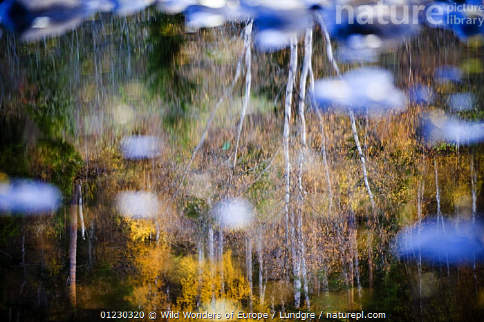 Trees reflected in water of River Orkla, Norway, September 2008 - salmon fishing river, ABSTRACT,EUROPE,LANDSCAPES,MAGNUS LUNDGREN,REFLECTIONS,RIVERS,SCANDINAVIA,TREES,WATER,WWE, Scandinavia,PLANTS, Scandinavia, Scandinavia, Wild Wonders of Europe / Lundgre