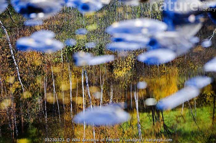 Trees reflected in a pool of water with pebbles in it near the bank of the River Orkla, Norway, September 2008 - salmon fishing river, ABSTRACT,EUROPE,LANDSCAPES,MAGNUS LUNDGREN,REFLECTIONS,RIVERS,SCANDINAVIA,STONES,TREES,TRUNKS,WATER,WWE, Scandinavia,PLANTS, Scandinavia, Scandinavia, Wild Wonders of Europe / Lundgre