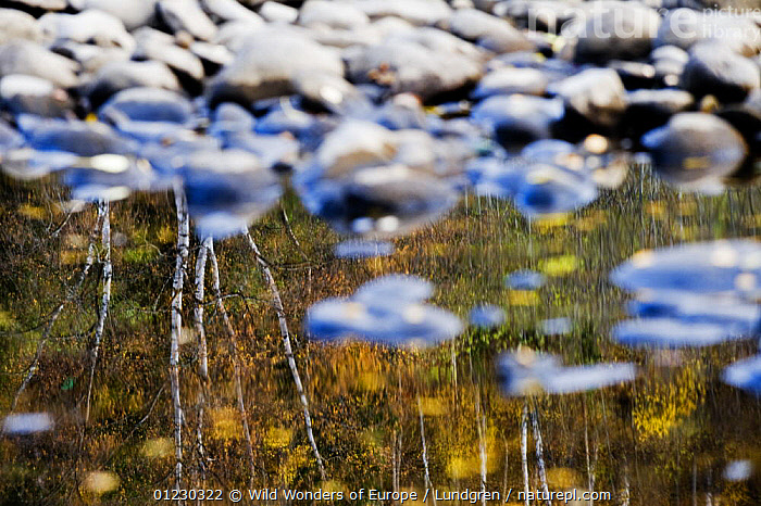 Trees reflected in a pool of water with pebbles in it near the bank of the River Orkla, Norway, September 2008, ABSTRACT,EUROPE,LANDSCAPES,MAGNUS LUNDGREN,REFLECTIONS,RIVERS,SCANDINAVIA,STONES,TREES,WATER,WWE, Scandinavia,PLANTS, Scandinavia, Wild Wonders of Europe / Lundgren