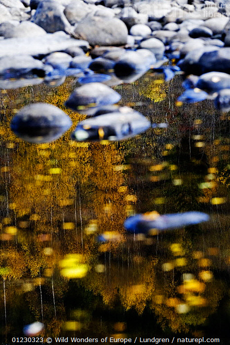 Trees reflected in water on the banks of the River Orkla, Norway, September 2008, ABSTRACT,AUTUMN,EUROPE,LANDSCAPES,MAGNUS LUNDGREN,NORWAY,REFLECTIONS,RIVERS,SCANDINAVIA,STONES,TREES,VERTICAL,WWE, Scandinavia,PLANTS, Scandinavia, Wild Wonders of Europe / Lundgren