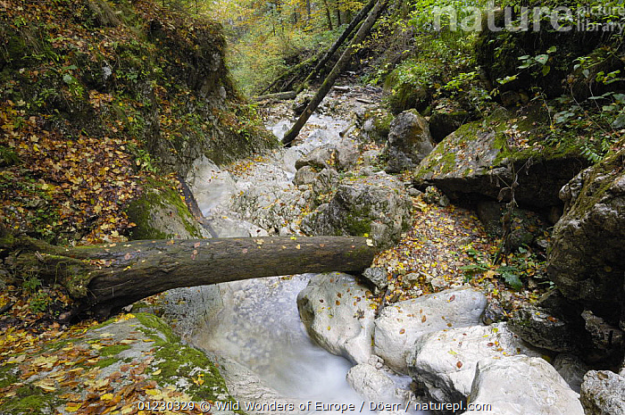 Mountain brook flowing through woodland, Valea Prapastiilor, Piatra Craiului National Park, Transylvania, Southern Carpathian Mountains, Romania, October 2008, BROOK,CORNELIA DOERR,EASTERN EUROPE,EUROPE,FOREST,NP,RESERVE,ROCKS,STREAMS,TREES,WATER,WOODLANDS,WWE,National Park,PLANTS, Wild Wonders of Europe / Döerr