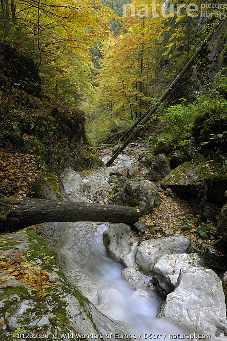 Mountain brook flowing through woodland, Valea Prapastiilor, Piatra Craiului National Park, Transylvania, Southern Carpathian Mountains, Romania, October 2008, BROOK,CORNELIA DOERR,EASTERN EUROPE,EUROPE,FOREST,NP,RESERVE,ROCKS,STREAMS,TREES,VERTICAL,WATER,WOODLANDS,WWE,National Park,PLANTS, Wild Wonders of Europe / Döerr