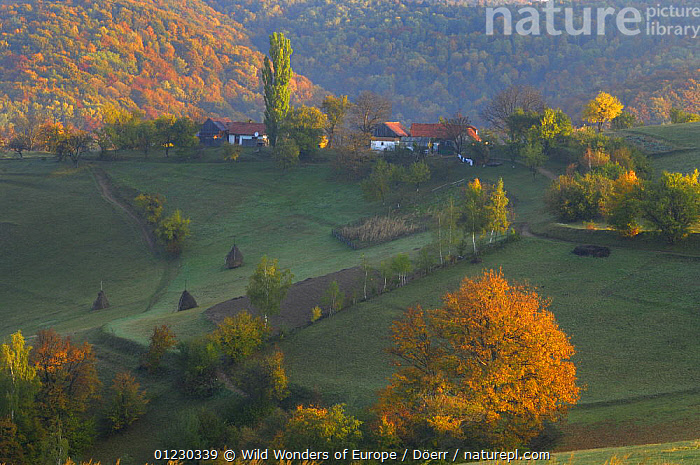 Rural landscape near Zarnesti, Transylvania, Southern Carpathian Mountains, Romania, October 2008, AUTUMN,BUILDINGS,CORNELIA DOERR,COUNTRYSIDE,EASTERN EUROPE,EUROPE,FARMLAND,FORESTS,HAYSTACKS,LANDSCAPES,ORANGE,TREES,WWE,PLANTS, Wild Wonders of Europe / Döerr