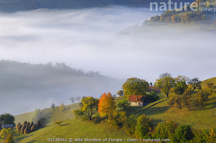 Rural farming landscape near Zarnesti, Transylvania, Southern Carpathian Mountains, Romania, October 2008, AUTUMN,BUILDINGS,CORNELIA DOERR,COUNTRYSIDE,EASTERN EUROPE,EUROPE,FARMLAND,HAYSTACKS,LANDSCAPES,MIST,TREES,WWE,PLANTS, Wild Wonders of Europe / Döerr
