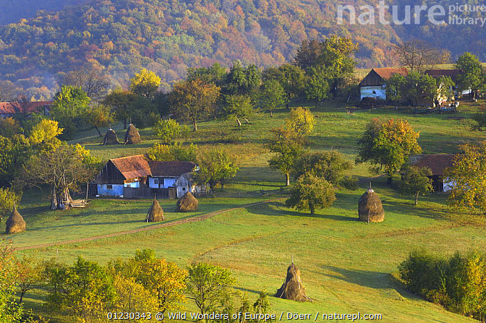Near Zarnesti, Transylvania, Southern Carpathian Mountains, Romania, October 2008, AGRICULTURE,BUILDINGS,CORNELIA DOERR,COUNTRYSIDE,EASTERN EUROPE,EUROPE,FARMLAND,FORESTS,HAYSTACKS,LANDSCAPES,TRADITIONAL,TREES,WWE,PLANTS, Wild Wonders of Europe / Döerr