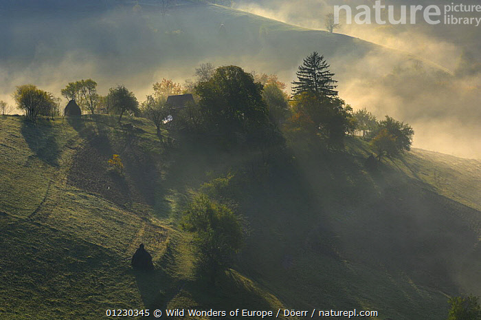 Rural landscape near Zarnesti, Transylvania, Southern Carpathian Mountains, Romania, October 2008, ATMOSPHERIC,CORNELIA DOERR,COUNTRYSIDE,EASTERN EUROPE,EUROPE,FARMLAND,HAYSTACKS,LANDSCAPES,MIST,TRADITIONAL,TREES,WWE,PLANTS, Wild Wonders of Europe / Döerr