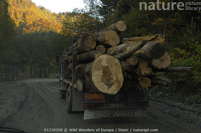 Timber being transported along forest road through Dambovita Valley, Piatra Craiului, Transylvania, Southern Carpathian Mountains, Romania, October 2008, CORNELIA DOERR,DEFORESTATION,EASTERN EUROPE,EUROPE,FORESTS,LANDSCAPES,ROADS,TRUNKS,VEHICLES,WOOD,WOODLANDS,WWE, Wild Wonders of Europe / Döerr
