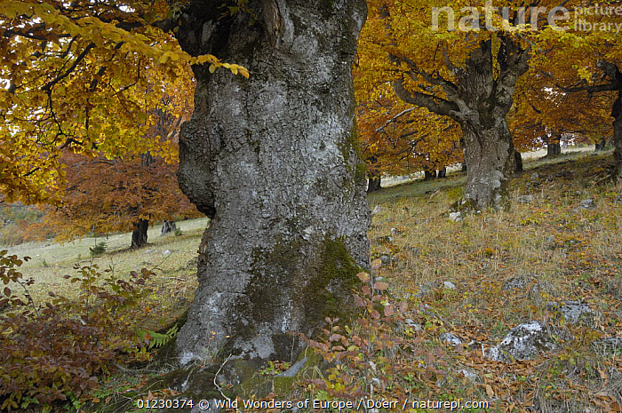 Old beech trees (Fagus sp) in autumn, Piatra Craiului National Park, Transylvania, Southern Carpathian Mountains, Romania, October 2008, CORNELIA DOERR,DICOTYLEDONS,EASTERN EUROPE,EUROPE,FAGACEAE,LEAVES,NP,OLD,ORANGE,PLANTS,RESERVE,ROMANIA,TREES,WWE,National Park, Wild Wonders of Europe / Döerr