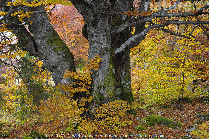 Old beech tree (Fagus sp) in autumn, Piatra Craiului National Park, Transylvania, Southern Carpathian Mountains, Romania, October 2008, CORNELIA DOERR,DICOTYLEDONS,EASTERN EUROPE,EUROPE,FAGACEAE,LEAVES,NP,OLD,PLANTS,RESERVE,ROMANIA,TREES,WWE,National Park, Wild Wonders of Europe / Döerr