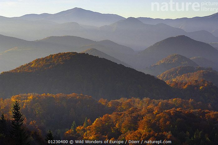 Forest covered hills, Piatra Craiului National Park, Transylvania, Southern Carpathian Mountains, Romania, October 2008, CORNELIA DOERR,EASTERN EUROPE,EUROPE,FORESTS,LANDSCAPES,MOUNTAINS,NP,RESERVE,TREES,WWE,National Park,PLANTS, Wild Wonders of Europe / Döerr