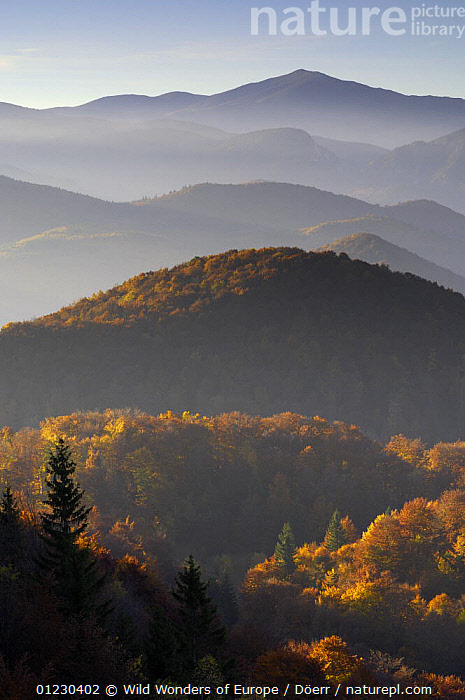 Forest covered hills, Piatra Craiului National Park, Transylvania, Southern Carpathian Mountains, Romania, October 2008, ATMOSPHERIC,CORNELIA DOERR,EASTERN EUROPE,EUROPE,FORESTS,LANDSCAPES,MOUNTAINS,NP,RESERVE,TREES,VERTICAL,WWE,National Park,PLANTS, Wild Wonders of Europe / Döerr